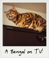 A Bengal cat on TV!