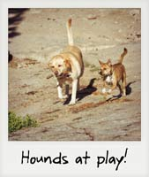 Hounds at play!