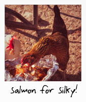 Salmon for silky!
